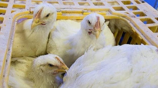 استفاده از تریاک در صنعت مرغداری تکذیب شد