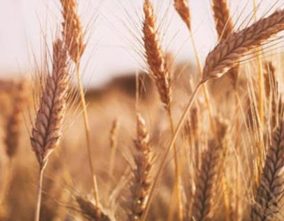 افت ۳۰ درصدی خرید گندم نسبت به سال قبل/ گندم های وارداتی در حال ترخیص از گمرک