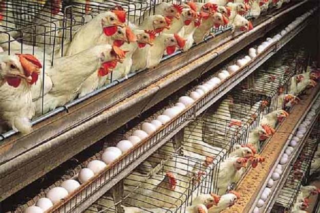 ۹۵ میلیون تخم مرغ نطفهدار برای تامین نیاز بازار وارد میشود
